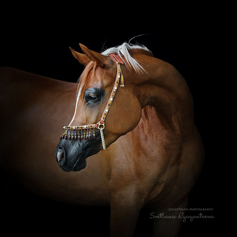 horse, лошадь, лошади, portrait Арабские мотивыphoto preview