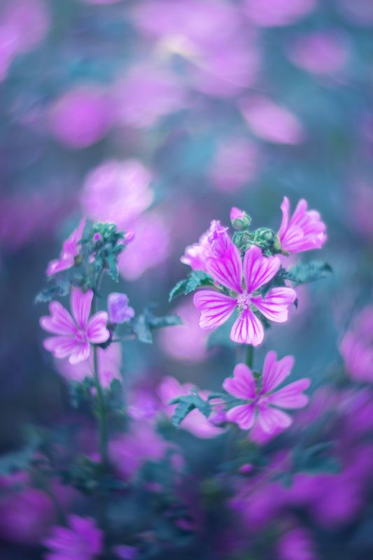 pink,blue,flowers,bokeh,light,nature, Pink and bluephoto preview