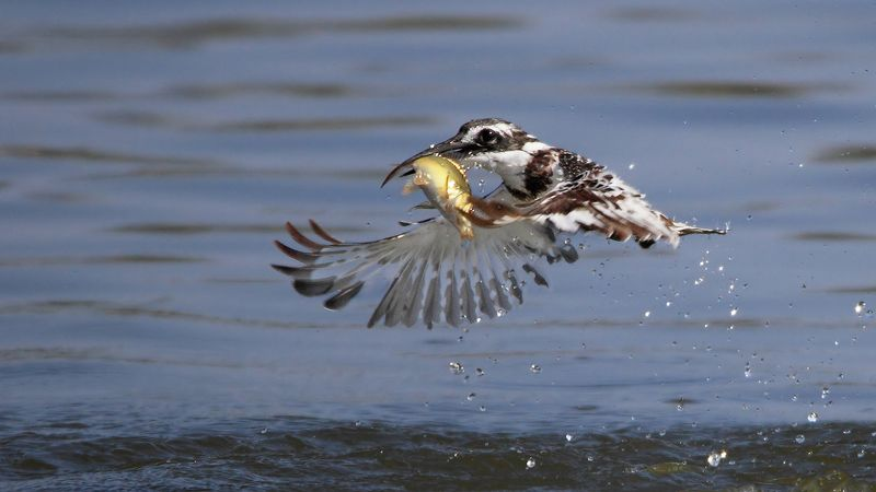 animals,birds,kingfisher, fish,7d,600mm, животные,птицы,рыба,зимородок Маленький охотникphoto preview