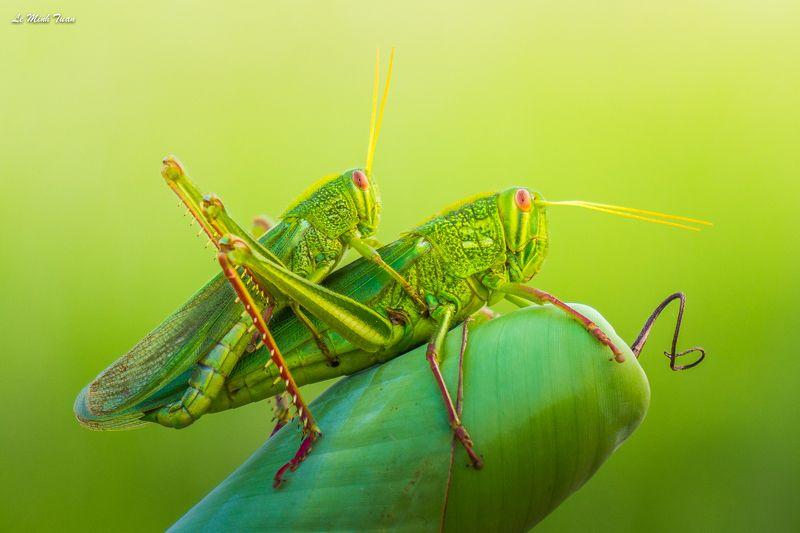 grasshopper Grasshoppersphoto preview