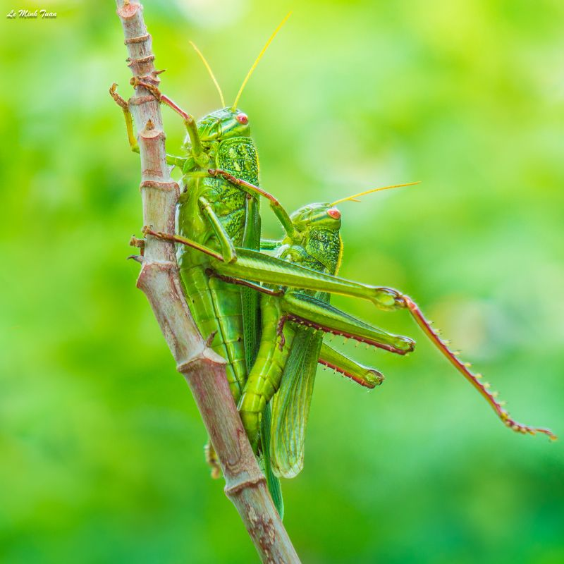 grasshoppers Matingphoto preview
