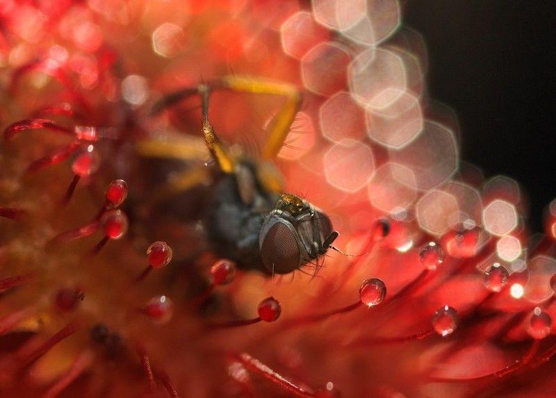 росянка, мушха «Если рассудок и жизнь дороги Вам, держитесь подальше от торфяных болот» (Конан Дойл,photo preview