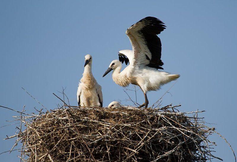 птицы, птица, аисты, аист из жизни одной семьиphoto preview