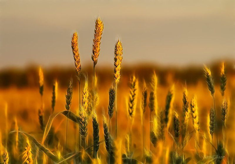 хлеб, колос, raisa rare, rare,  закат, поле Золото заката.photo preview