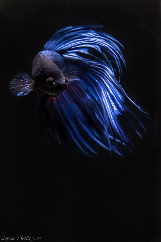 Сиамский петушокphoto preview