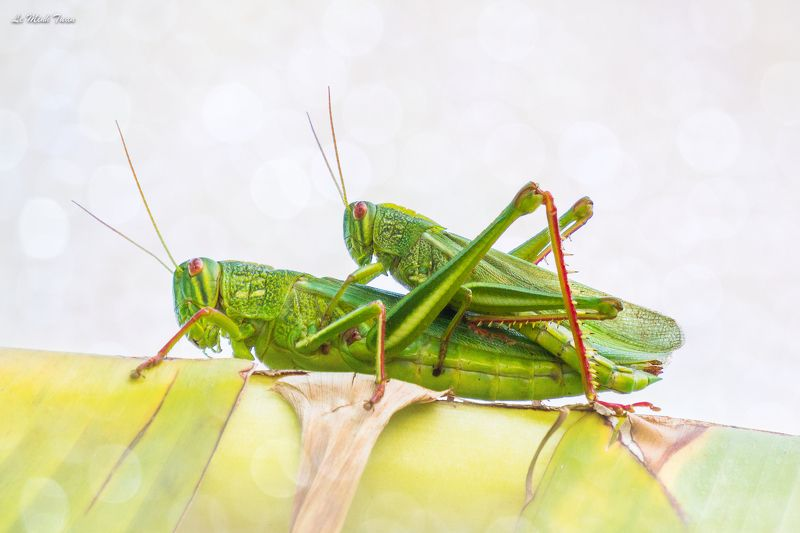 grasshoppers Grasshoppersphoto preview