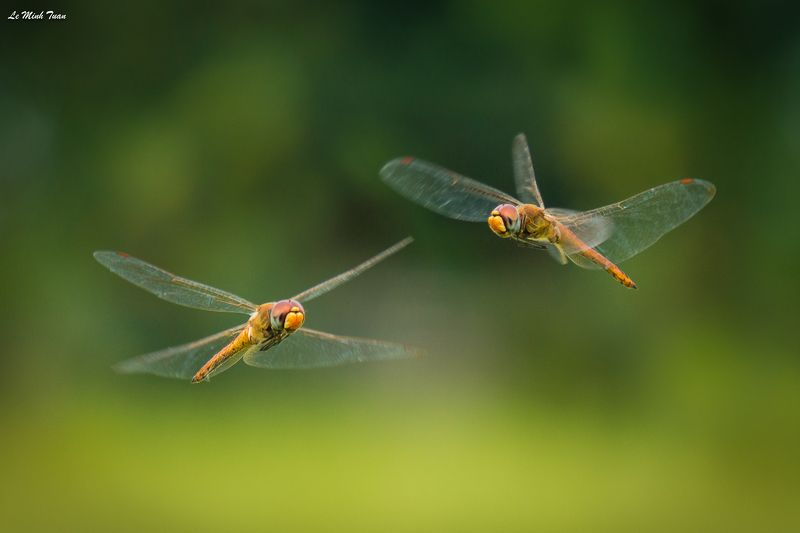 dragonflies Meeting in the airphoto preview