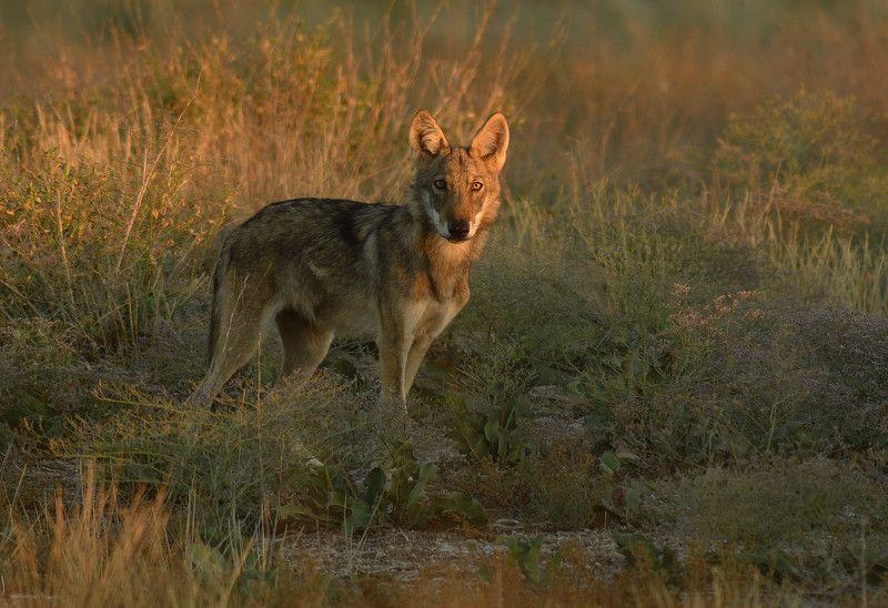 Волк в золотомphoto preview