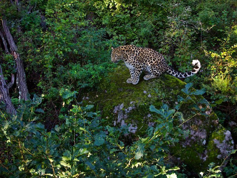 леопард и красный грибphoto preview