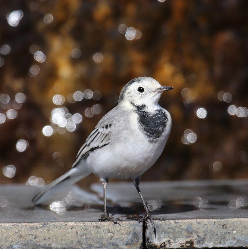белая трясогузка, motacilla alba, птицы, трясогузка Белая трясогуска.photo preview
