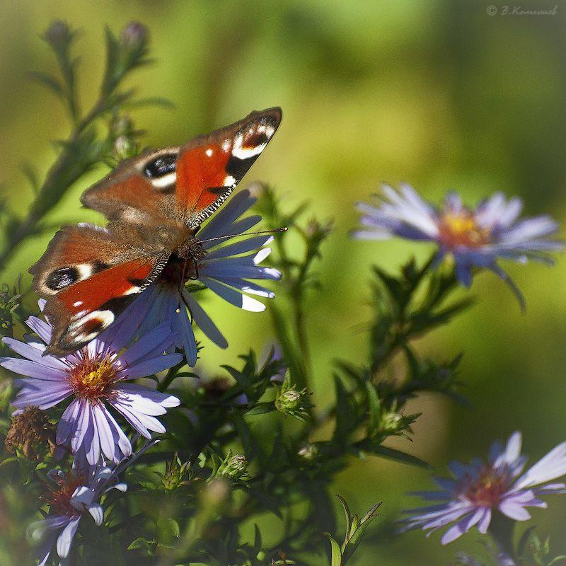 природа, насекомые, бабочки, лето Пусть всегда будет солнце...photo preview