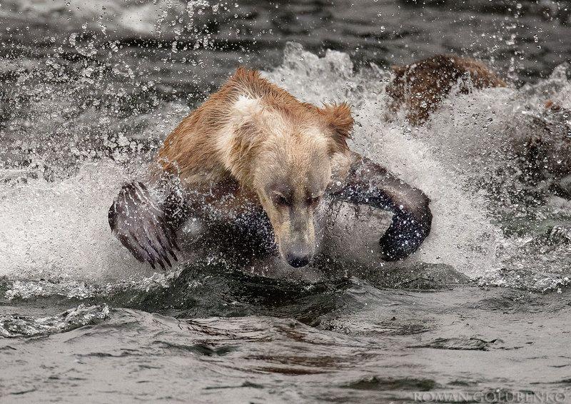 Пролетая над берлогой Гризли 2 / One Flew Over the Grizzly\'s Den 2.  Alaskaphoto preview