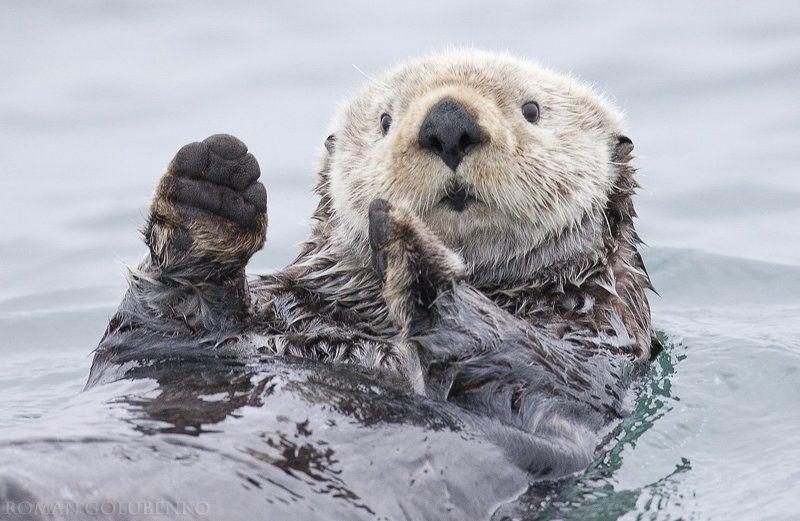 А вчера я поймал вот такую рыбину! / Yesterday I caught a fish thiiis big! - Otter. Alaskaphoto preview