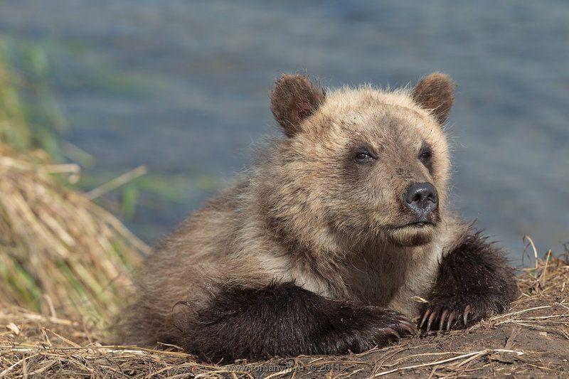 камчатка, медведь, озеро курильское Сеголетка.photo preview