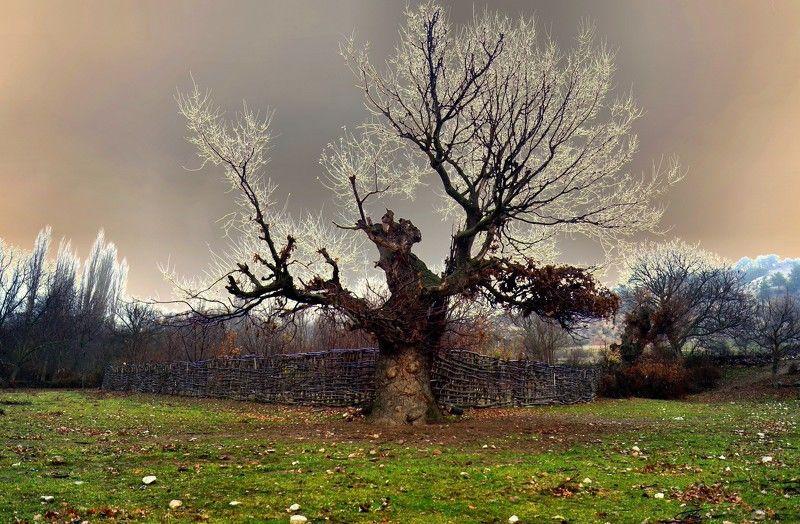 willow, tree Willow treephoto preview
