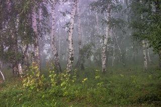 Берёзки в тумане