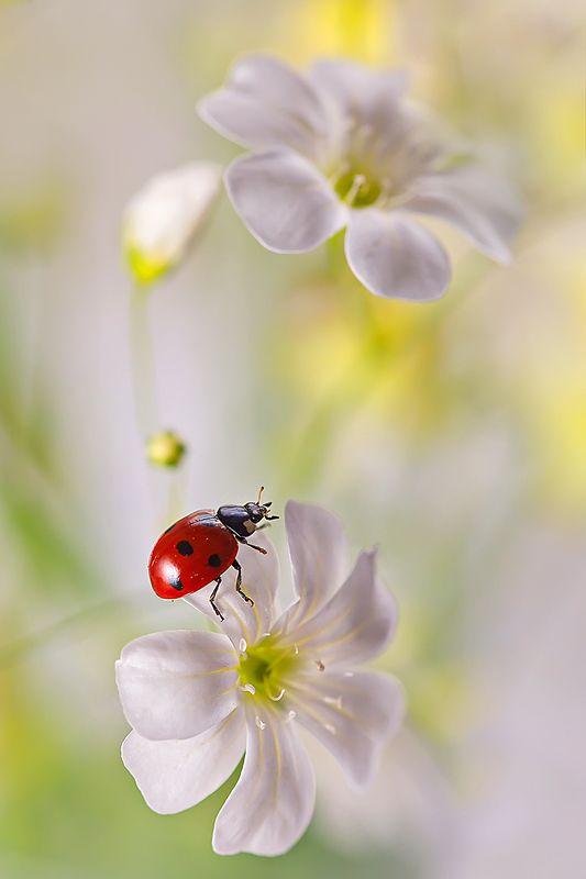 макро, насекомое, божья коровка, жук, природа, цветы Этюд в лимонных тонахphoto preview