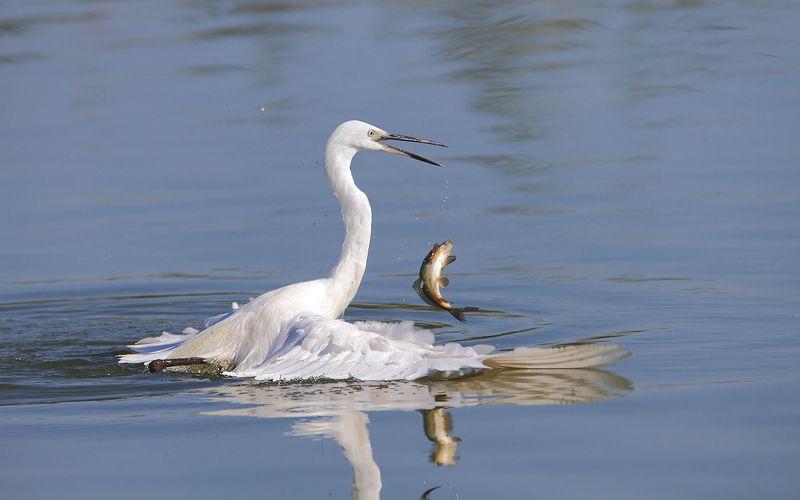 animals,birds,egret, fish, 7d, 600mm, животные,птицы,рыбаб цапля Танцы на водеphoto preview
