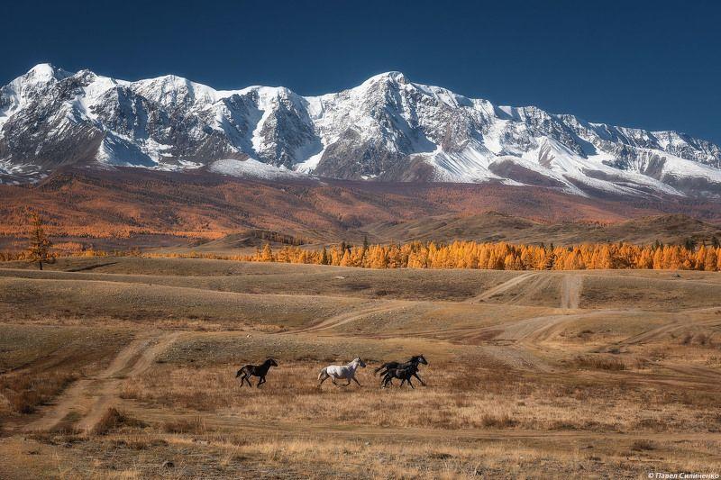 пейзаж, алтай, горы, осень, курай, кони, утро, свет Курайская степьphoto preview