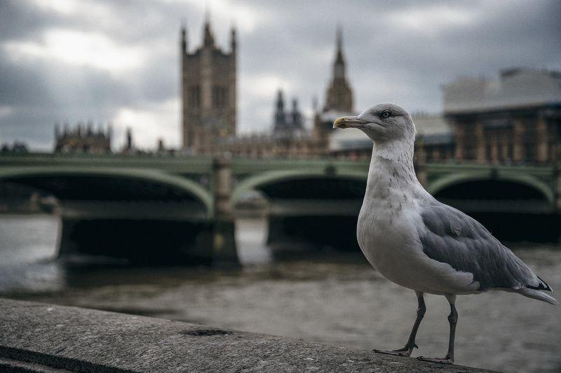 лондон, великобритания, мост, чайка, птица Pridephoto preview