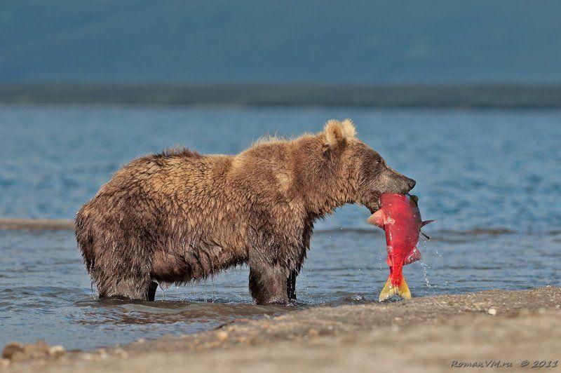 камчатка, медведь, озеро курильское, нерка \