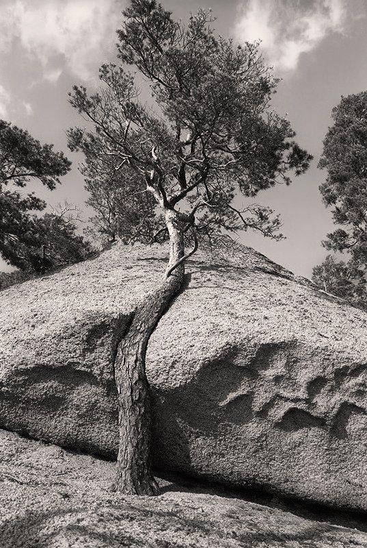 дерево, скала Борьба за место под солнцемphoto preview