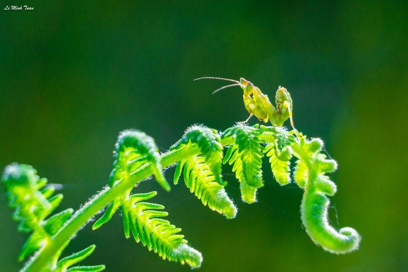 mantis Little mantisphoto preview