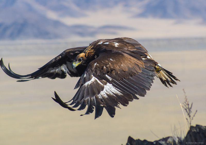 орел, беркут, монголия Полет беркутаphoto preview
