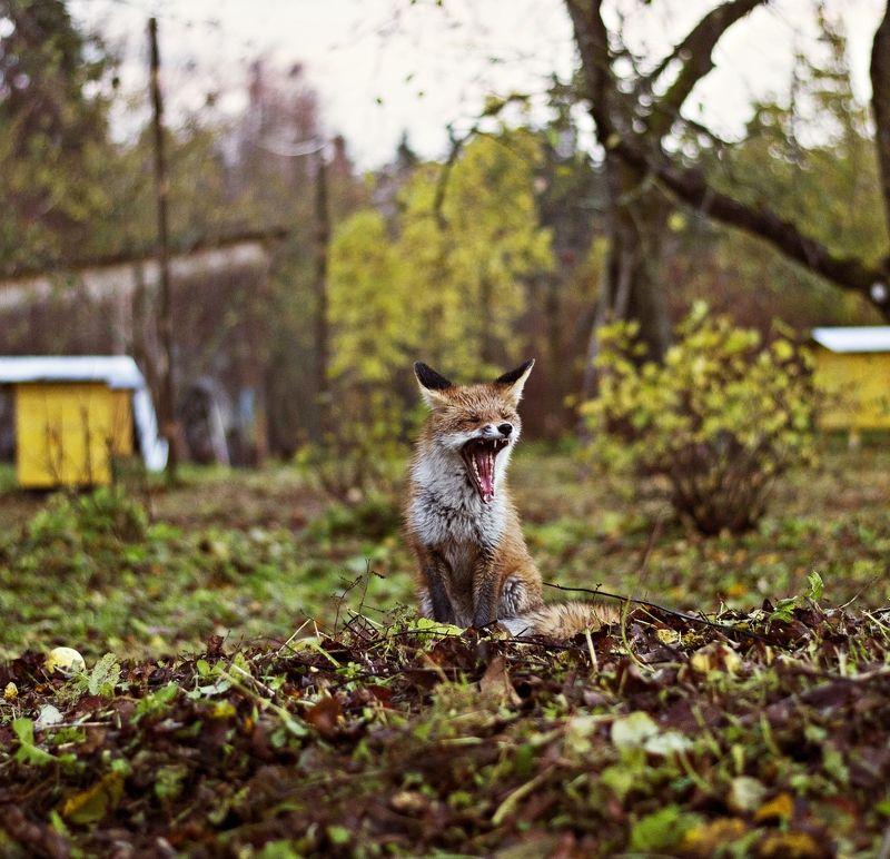 nature, evening, autumn, fox Foxphoto preview