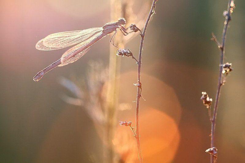 стрекоза, закат, макро закатно-стрекозлиноеphoto preview