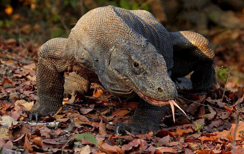 комодский дракон, комодский варан Рандеву с кровожадным дракономphoto preview