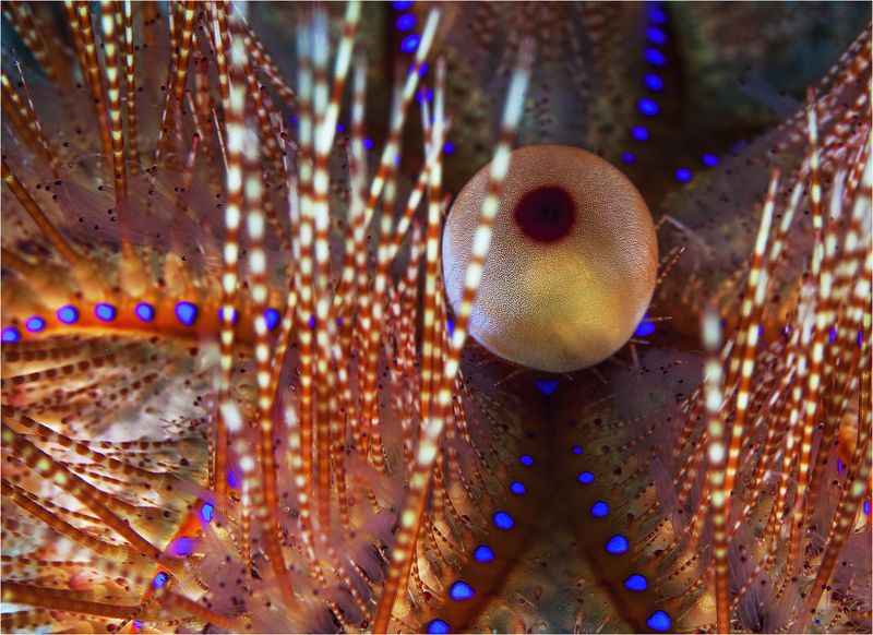 филиппины, морской еж, макро ежкин котphoto preview