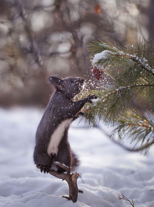 якутия, нерюнгри, белка Снежная шишкаphoto preview