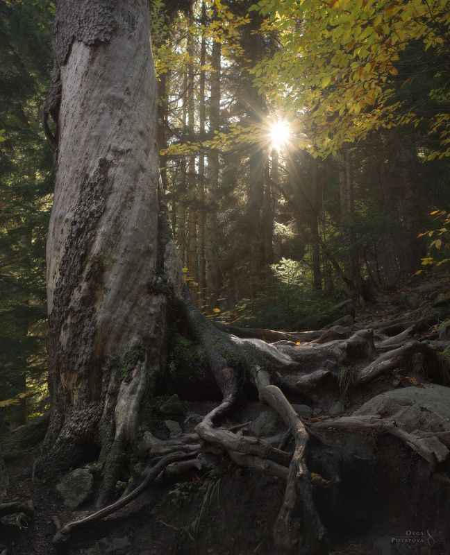 тебердинский заповедник, домбай, карачаево-черкессия, лес, бук, золото, листья, осень, сосна На склонеphoto preview
