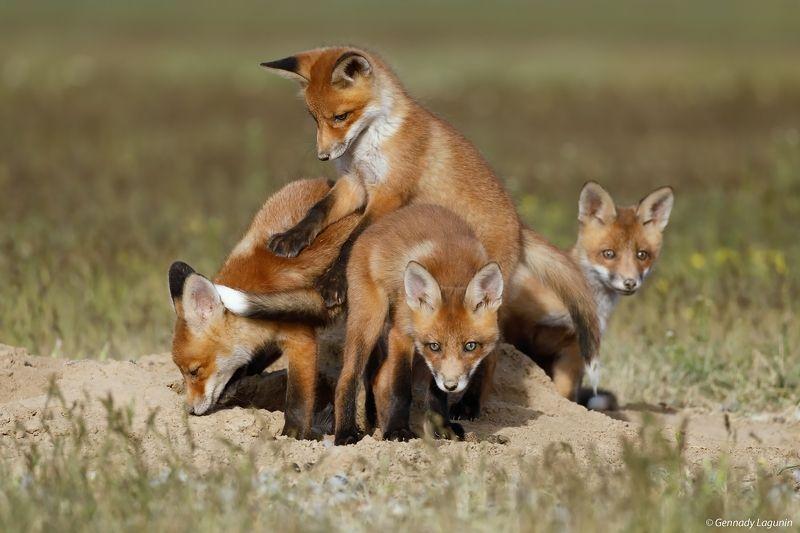 little fox, лисята, fox, лиса Братцы лисыphoto preview