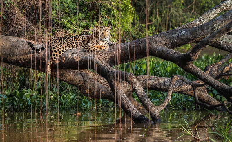 бразилия, ягуар Ягуарphoto preview