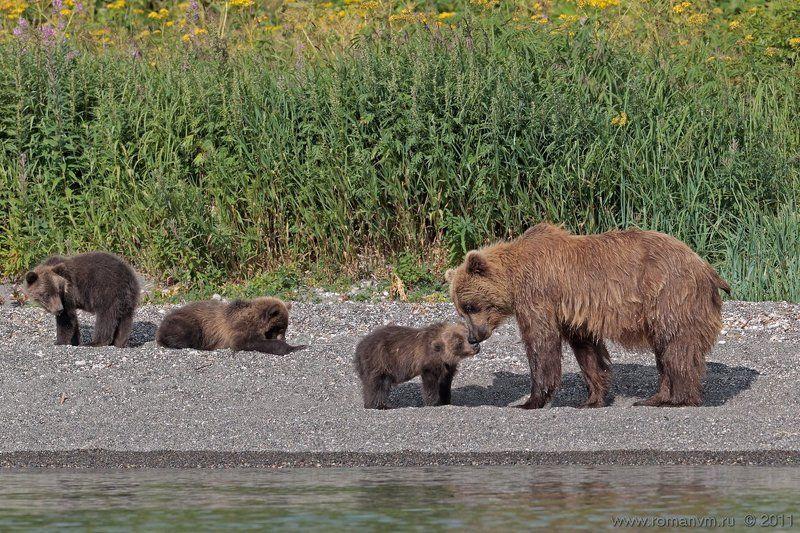 камчатка, медведь, озеро курильское Мамочка пришла.photo preview