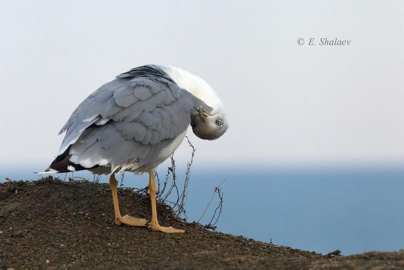 хохоту́нья, степная чайка,larus cachinnans,birds,птица,птицы,фотоохота,чайка А так вы интересней !photo preview