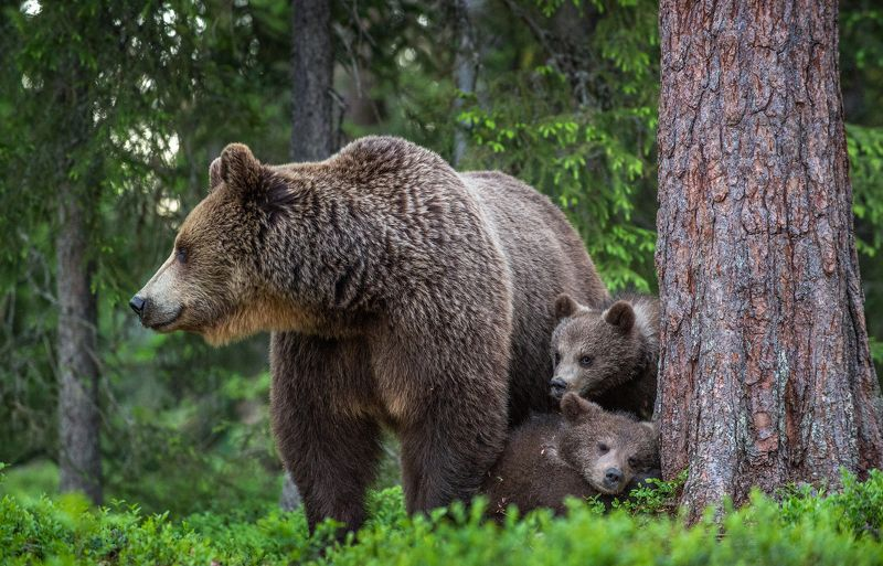 медвежата, медведица, бурый медведь, brown bear, she-bear, bear-cub .photo preview
