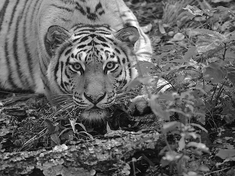 уссурийский тигрphoto preview