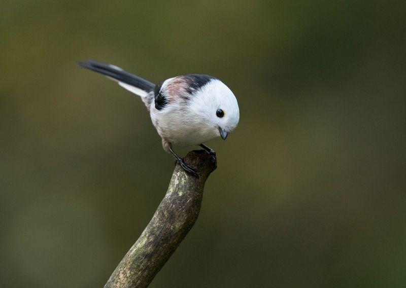птицы, длиннохвостая синица, ополовник, Длиннохвостая синицаphoto preview
