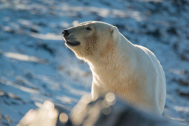 чукотка арктика море медведь белый полярный морской мыс кожевникова ****photo preview