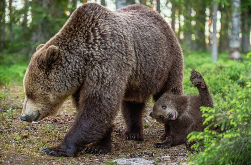 #where\\\'s, cece?, #bear_cub, #brown_bear Where is the nipple?photo preview
