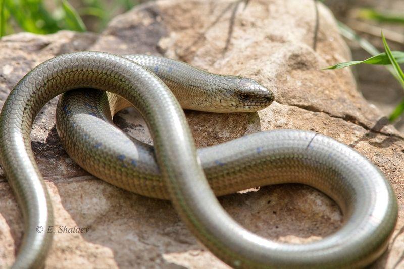 lizards,reptilia,ящерица,рептилии,ломкая веретеница,безногая ящерица,anguis fragilis А ноги где ???photo preview