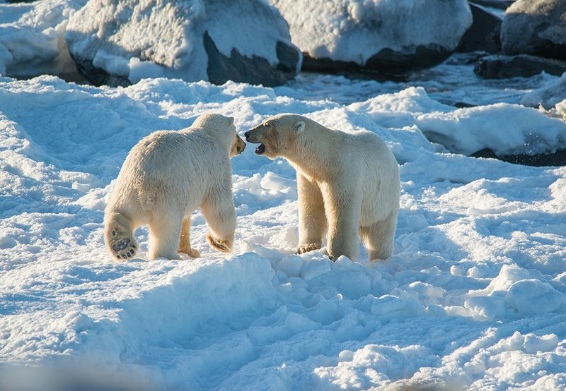 чукотка арктика море медведь белый полярный морской мыс кожевникова ***photo preview