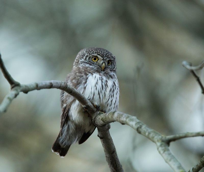 птицы, воробьиный сыч, сова, хищник, Режим поиска жертвыphoto preview