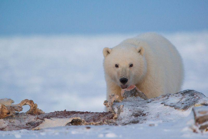 чукотка арктика море медведь белый полярный морской мыс кожевникова рыркайпий медвежонок Сирота...photo preview