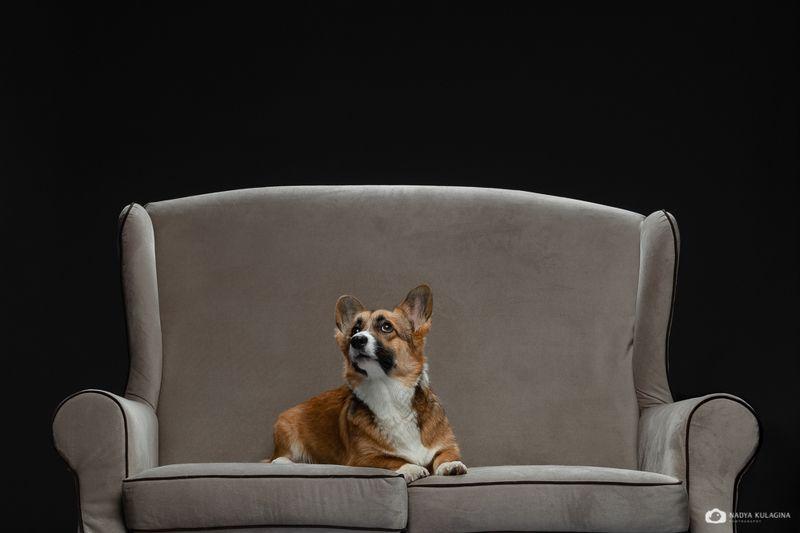 #animalphoto #dogphotography #bestphoto #welshcorgipembroke #dogportrait #portrait #dog #petphotography #pet_photography #studio #studio_pet_photography #studiopetphotography The Kingphoto preview