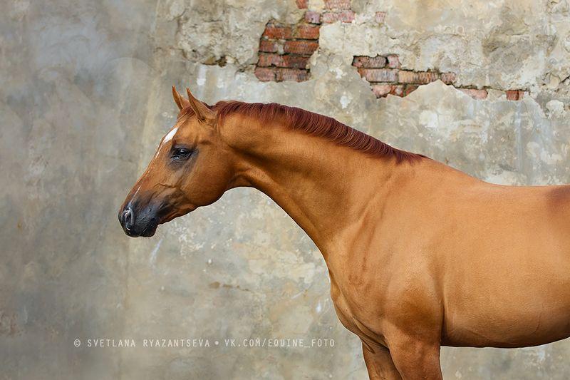 horse, лошадь, лошади, portrait Рыжийphoto preview