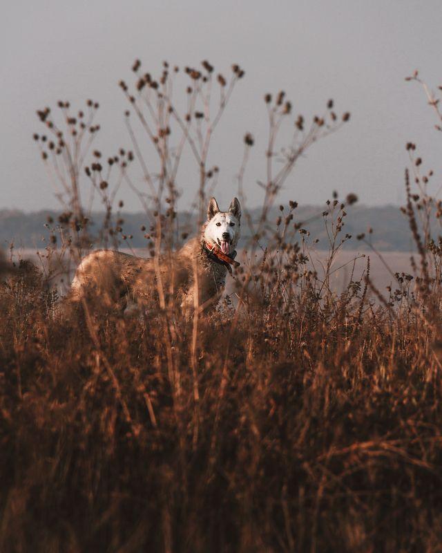 собака, лайка, трава, поле, осень, взгляд Кто это там???photo preview